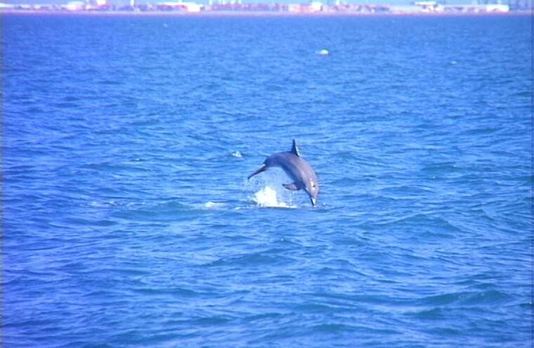 Moreton Island with Dolphins - Dolphin Jumping